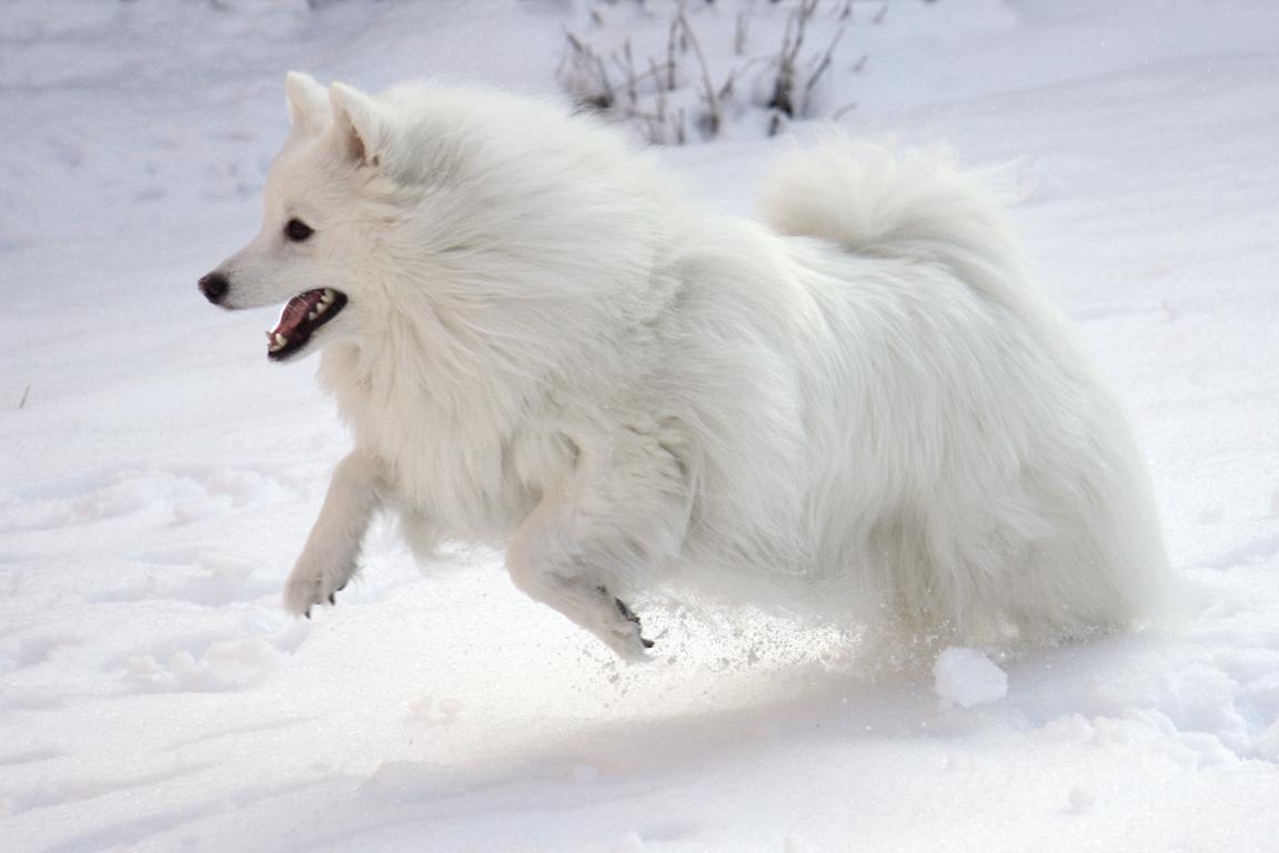 American Eskimo Dog wallpapers HD