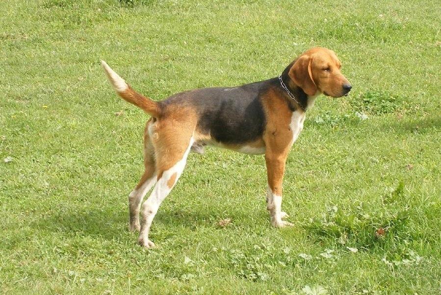 Beagle-Harrier wallpapers HD