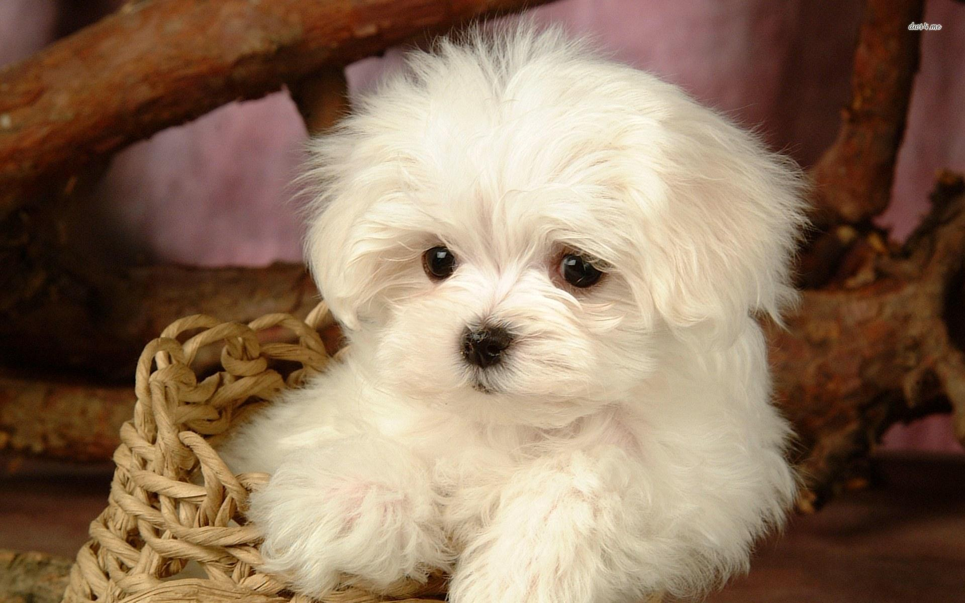 Bichon Frise wallpapers HD