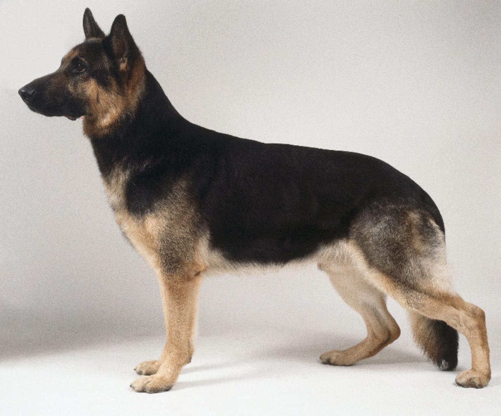 German Shepherd Dog wallpapers HD