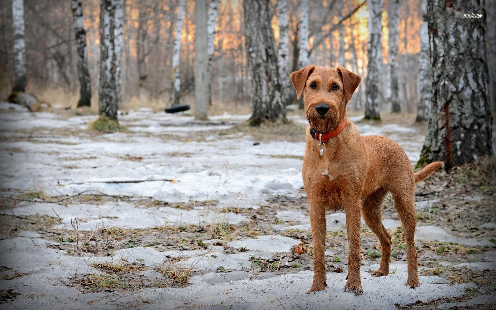 Irish Terrier wallpapers HD