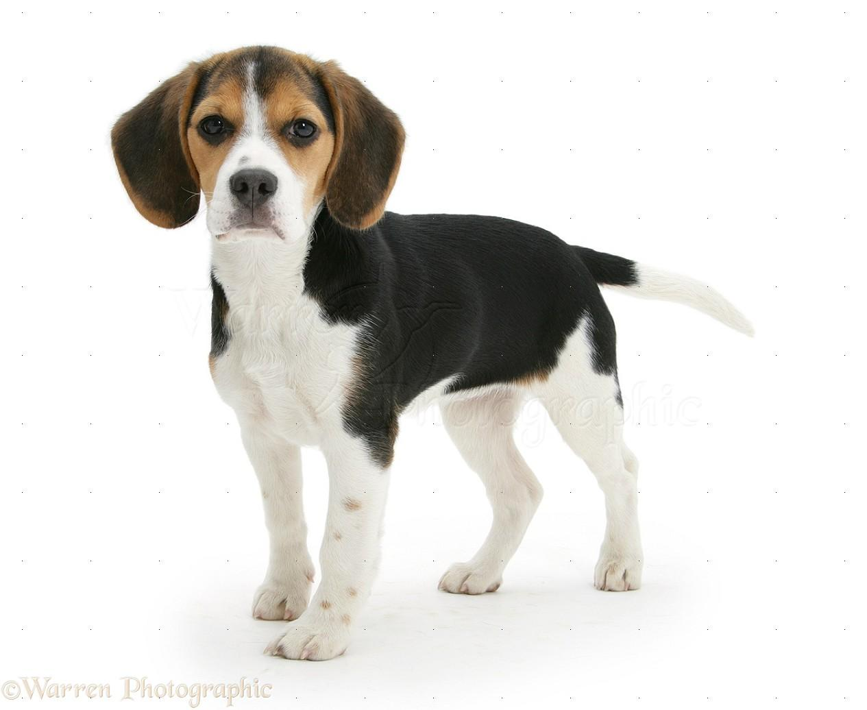 North Country Beagle wallpapers HD