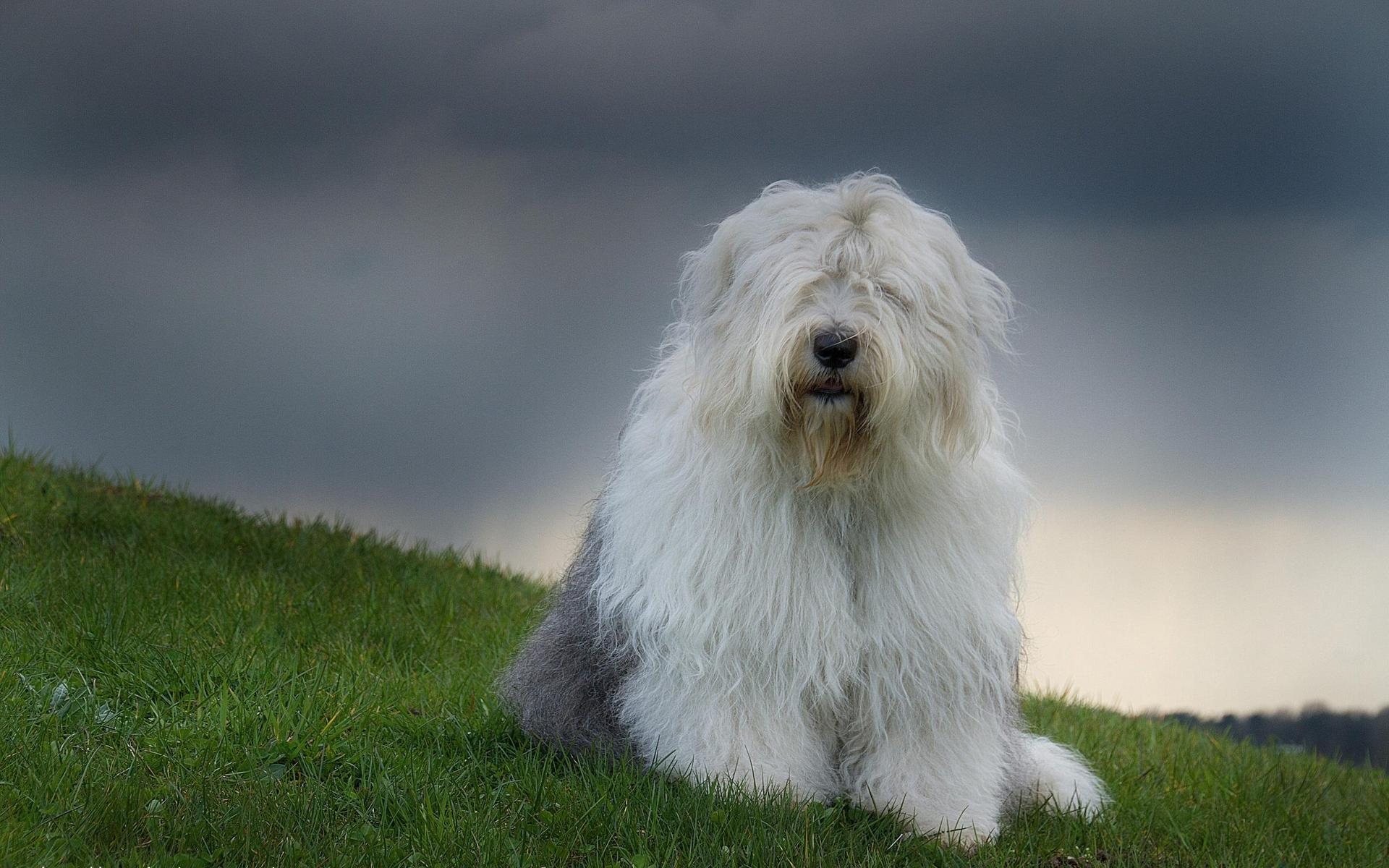 Old English Sheepdog wallpapers HD