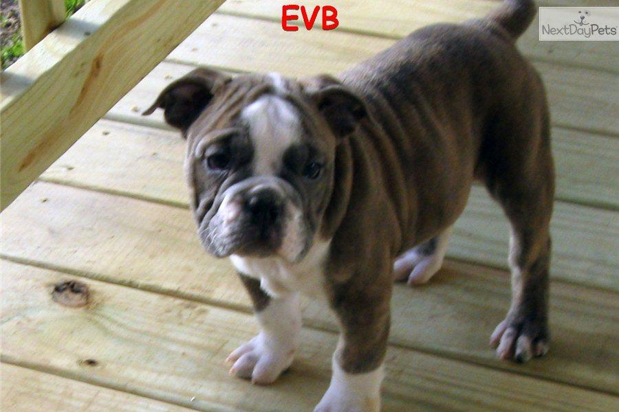 Olde English Bulldogge wallpapers HD