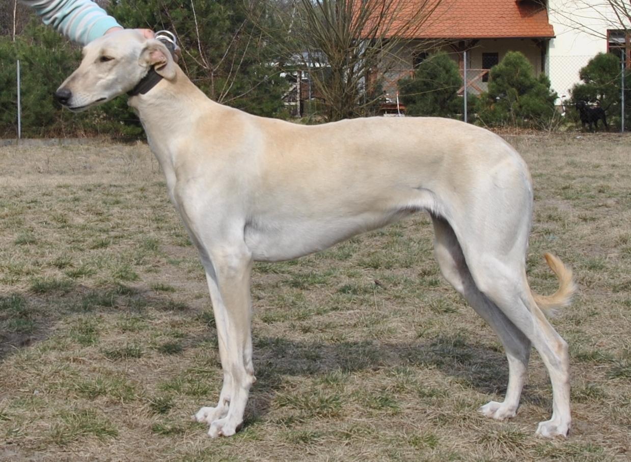 Polish Greyhound wallpapers HD