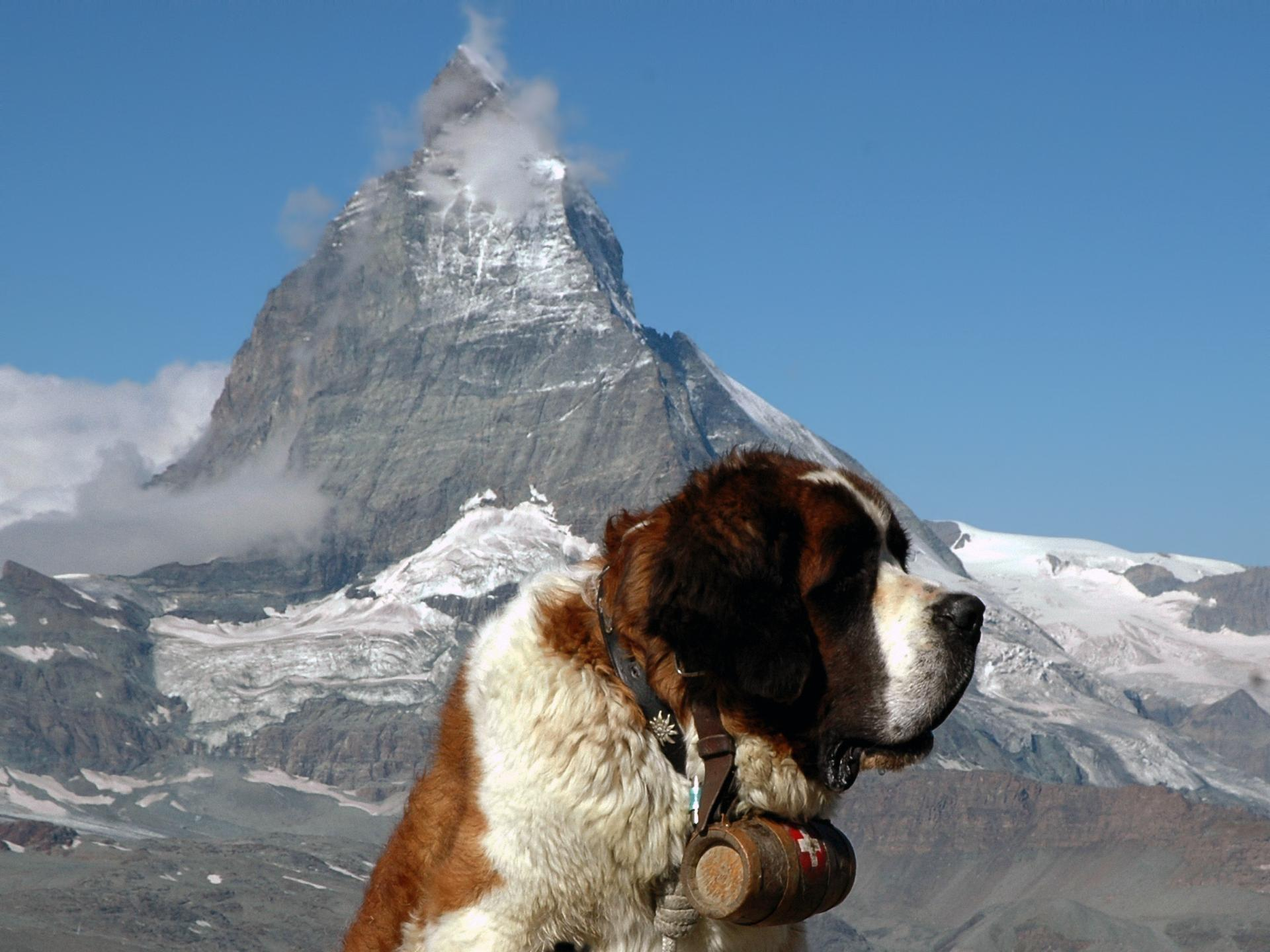 St. Bernard Wallpapers HD Download