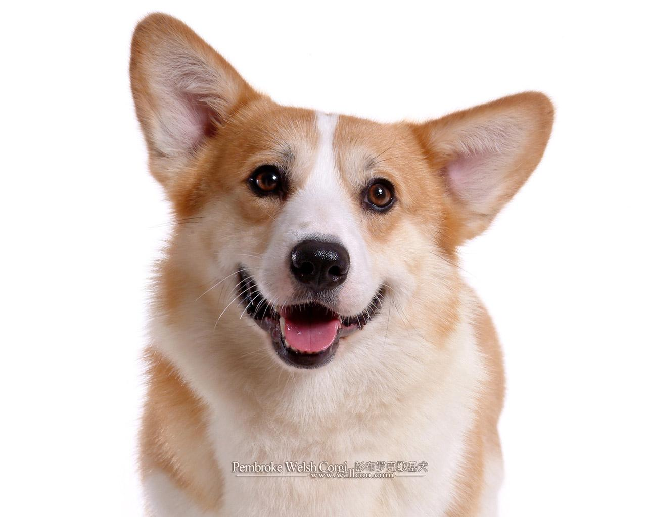 welsh corgi The welsh corgi, sometimes known as just a corgi, (/ ˈ k ɔːr ɡ i /, welsh for dwarf dog plural corgis or occasionally the etymologically consistent corgwn.