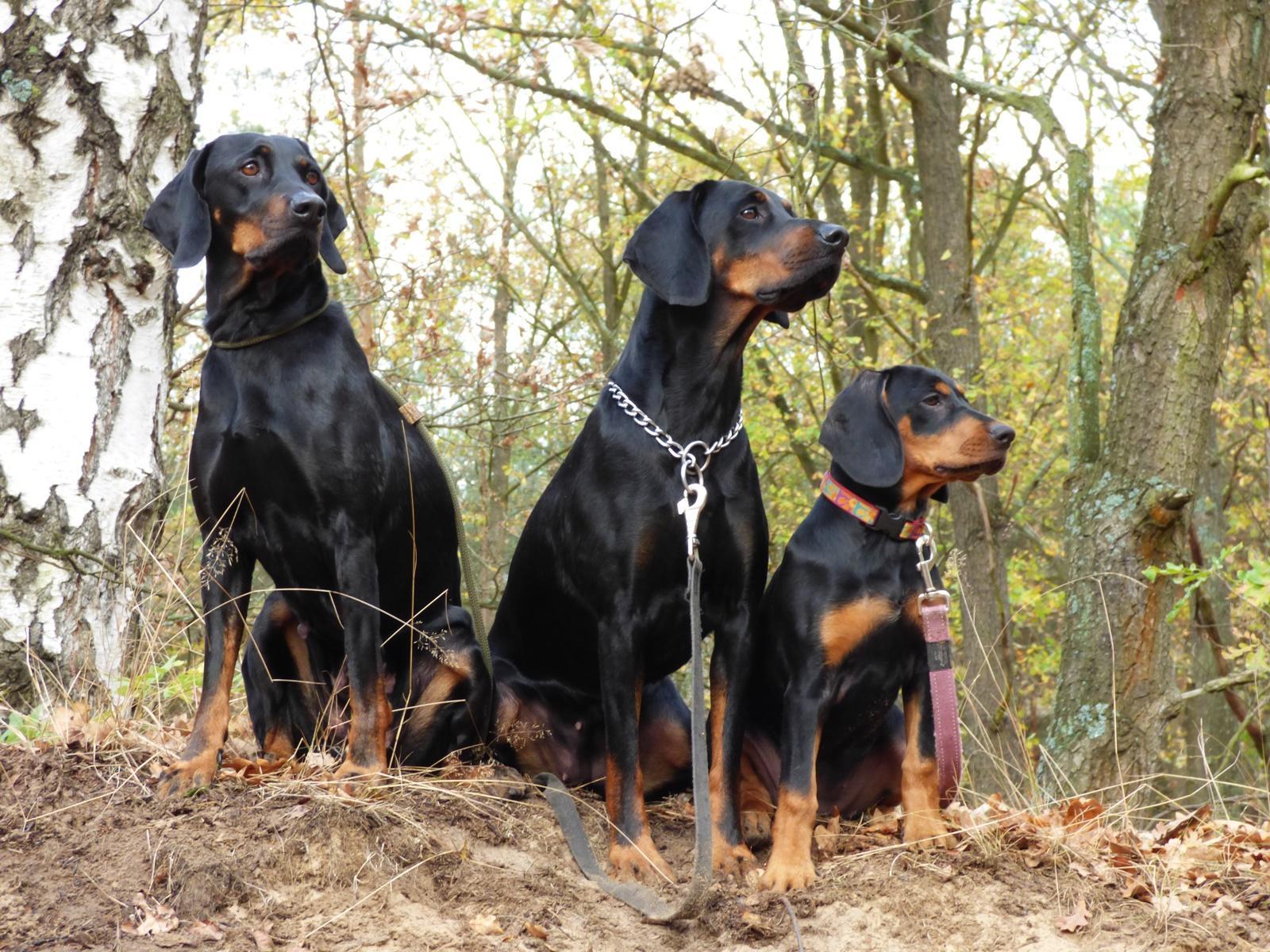 polish hunting dog wallpapers hd download