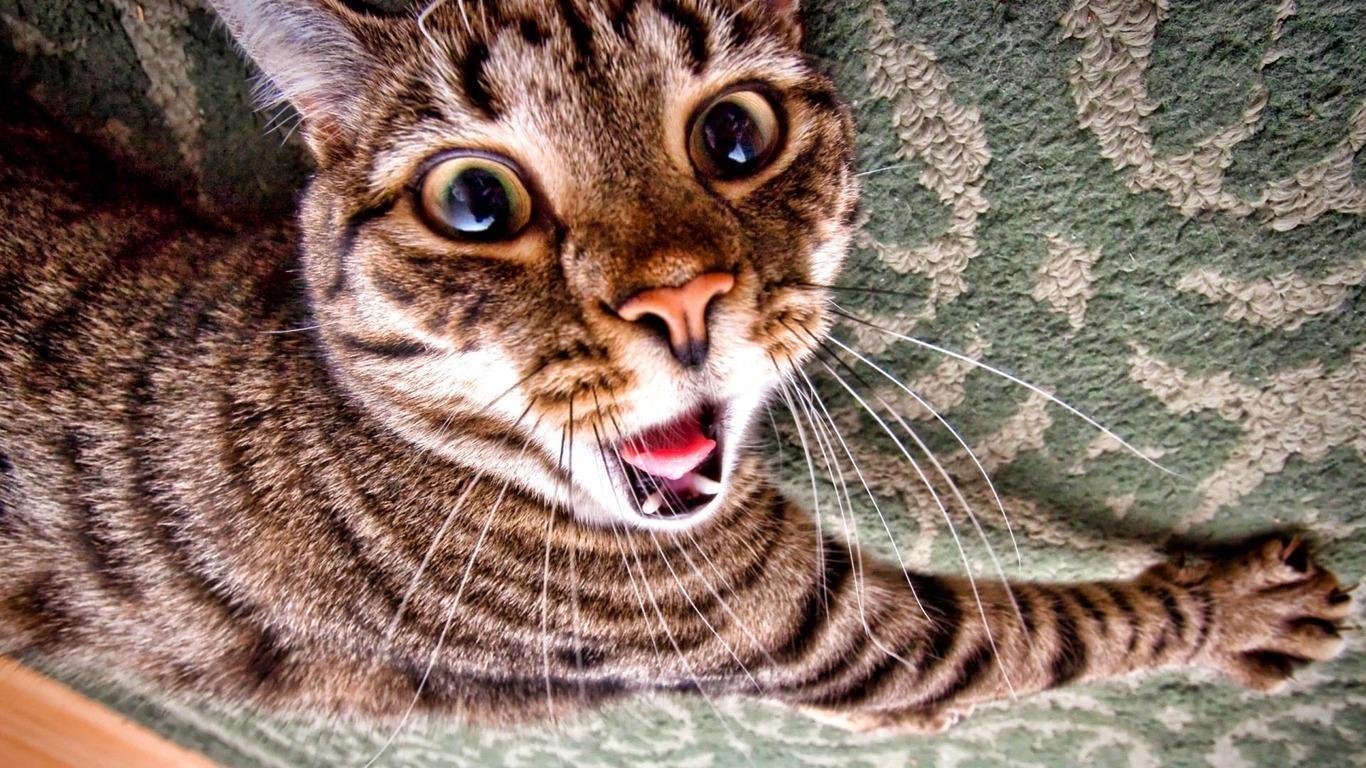 American Bobtail Cat The American Bobtail Cat is an un mon breed