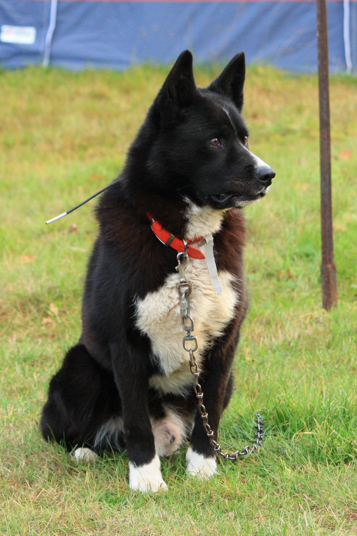 Karelian Bear Dog Video