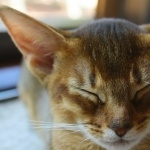 Abyssinian cat pic