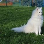American Eskimo Dog high quality wallpapers