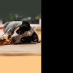 Australian Cattle Dog pic