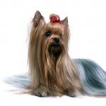 Australian Terrier photo