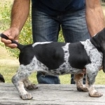 Basset Bleu de Gascogne new wallpapers