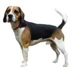 Beagle-Harrier desktop wallpaper