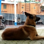 Belgian Shepherd Dog pics