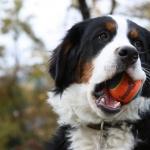 Bernese Mountain Dog hd pics