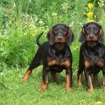 Black and Tan Virginia Foxhound photo