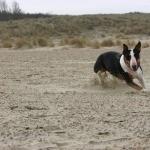 Bull Terrier Miniature full hd