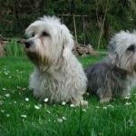 Dandie Dinmont Terrier high definition photo