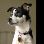 Decker Rat Terrier high definition wallpapers