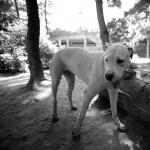 Dogo Argentino new photos