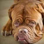 Dogue de Bordeaux pic