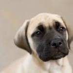 English Mastiff pic