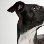 Italian Greyhound photos