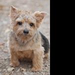 Norfolk Terrier funny