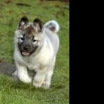 Norwegian Elkhound free wallpapers