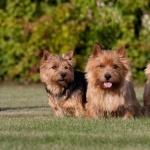 Norwich Terrier high definition photo