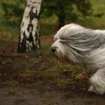 Polish Lowland Sheepdog free wallpapers