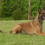 Belgian Shepherd Dog high definition photo