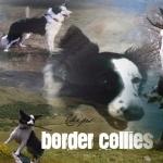 Border Collie hd pics