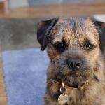 Border Terrier hd pics
