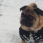 Boston Terrier free