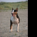 Bull and Terrier wallpapers