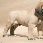 English Mastiff wallpapers for desktop