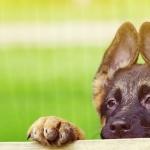 German Shepherd Dog download wallpaper