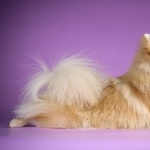 German Spitz hd wallpaper
