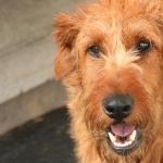 Irish Terrier funny