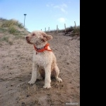 Lagotto Romagnolo wallpapers hd