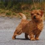 Norfolk Terrier new photos