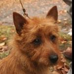 Norwich Terrier hd photos