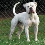 American Bulldog 2016