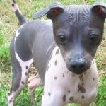 American Hairless Terrier 2016
