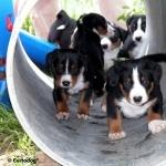 Appenzeller Sennenhund high definition photo