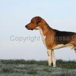 Beagle-Harrier download